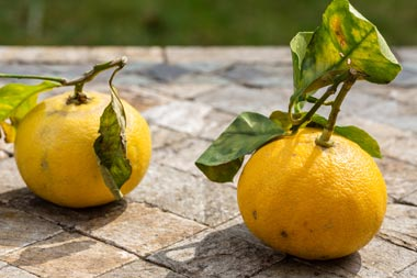 Zwei Bergamotte Zitronen